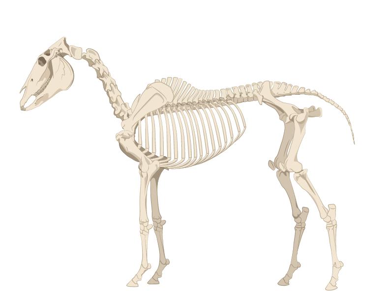 horse skeleton illustration